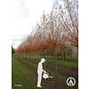 Boomkwekerij M. van den Oever Salix alba 'Chermesina'   Schietwilg