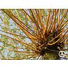 Boomkwekerij M. van den Oever Salix alba 'Chermesina' | Schietwilg