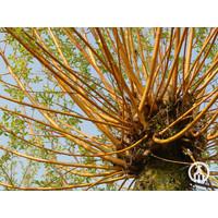 Salix alba 'Chermesina' | Schietwilg
