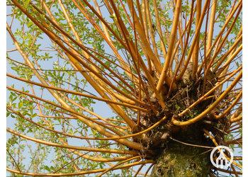 Boomkwekerij M. van den Oever Salix alba 'Chermesina'