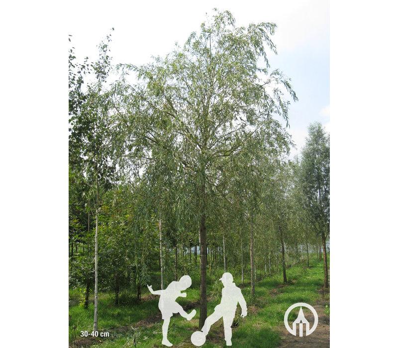 Salix x sepulcralis 'Chrysocoma' | Treurwilg