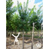 Sophora japonica 'Regent' | Honingboom