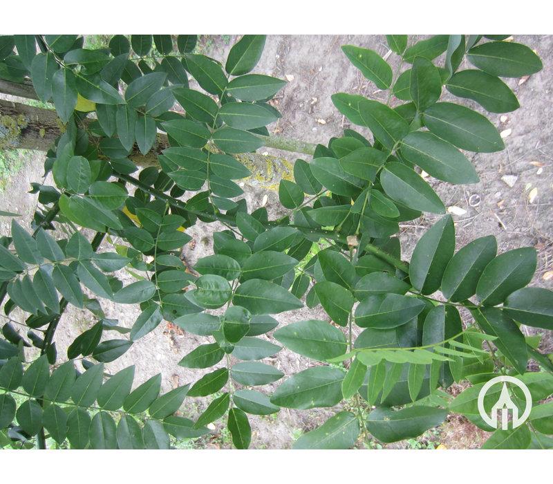 Styphnolobium japonica 'Regent' | Honingboom