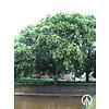 Boomkwekerij M. van den Oever Sophora japonica | Honingboom