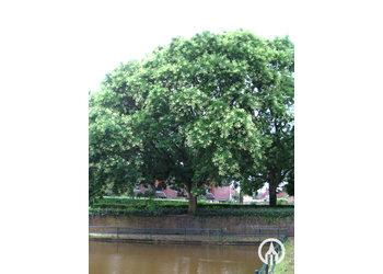Boomkwekerij M. van den Oever Sophora japonica