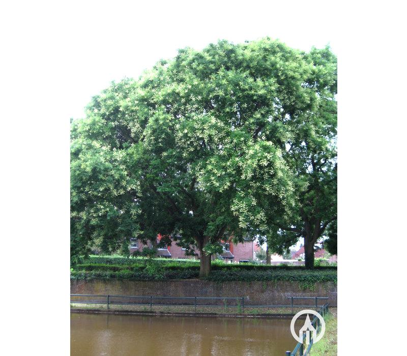 Sophora japonica | Honingboom