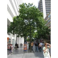 Styphnolobium japonica | Honingboom