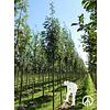 Boomkwekerij M. van den Oever Sorbus aucuparia 'Sheerwater Seedling' | Gewone Lijsterbes