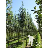 Sorbus aucuparia 'Sheerwater Seedling' | Gewone Lijsterbes