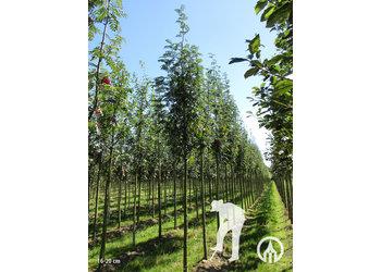 Boomkwekerij M. van den Oever Sorbus aucuparia 'Sheerwater Seedling'