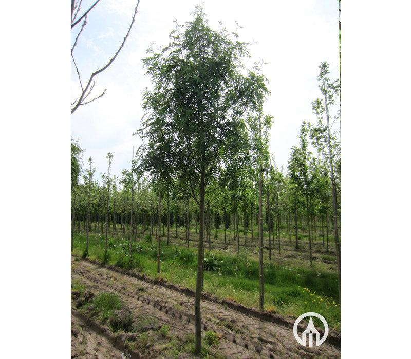 Sorbus 'Dodong' | Lijsterbes