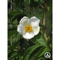 Stewartia pseudocamellia | Japanse Stewartia | Schijncamellia