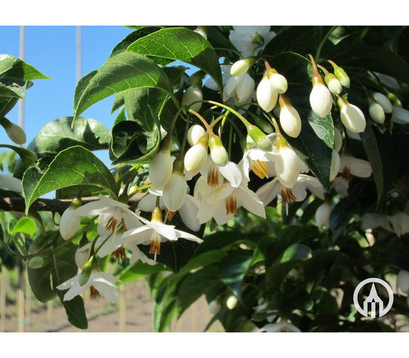 Styrax japonicus | Storaxboom