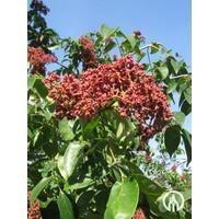 Tetradium daniellii | Bijenboom