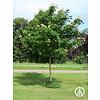Boomkwekerij M. van den Oever Tetradium daniellii | Bijenboom