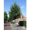 Boomkwekerij M. van den Oever Tilia cordata 'Greenspire' | Winterlinde
