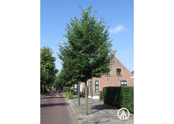 Boomkwekerij M. van den Oever Tilia cordata 'Greenspire'