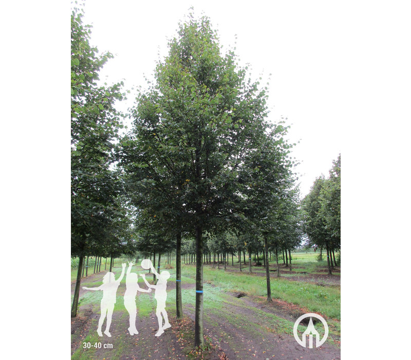 Tilia cordata' Rancho' | Winterlinde