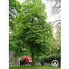 Boomkwekerij M. van den Oever Tilia europaea 'Euchlora' | Krimlinde