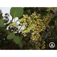 Tilia henryana | Gewimperde linde