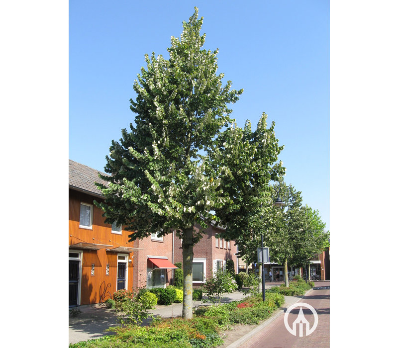 Tilia tomentosa 'Brabant' | Zilverlinde