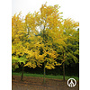 Boomkwekerij M. van den Oever Ulmus 'Sapporo Autumn Gold' | Iep