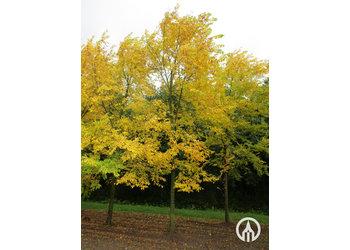 Boomkwekerij M. van den Oever Ulmus 'Sapporo Autumn Gold'