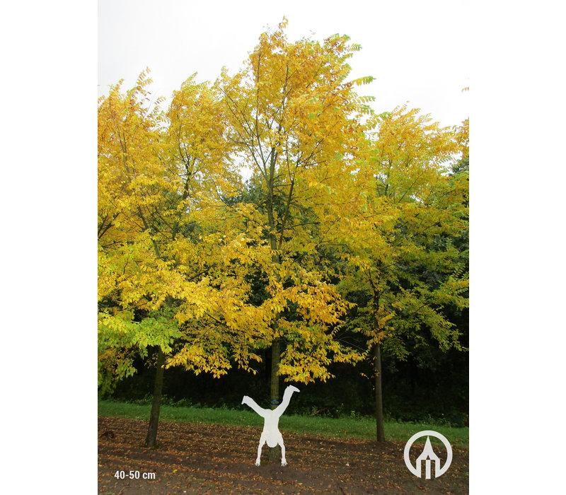 Ulmus 'Sapporo Autumn Gold' | Iep
