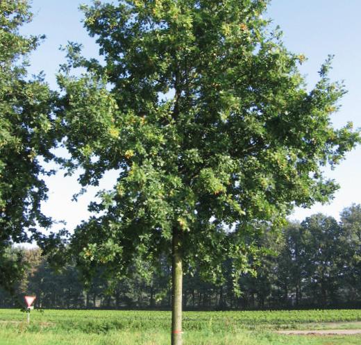 Quercus robur beschermt goed tegen de warmteinstraling van de zon