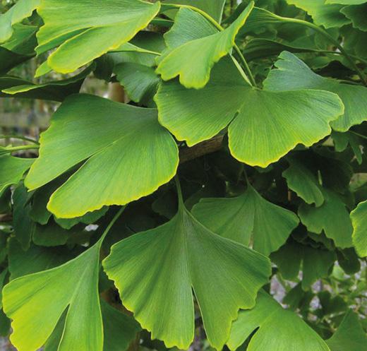 De walnoot of okkernoot. Een GreenCare™ boom die niet mag ontbreken.