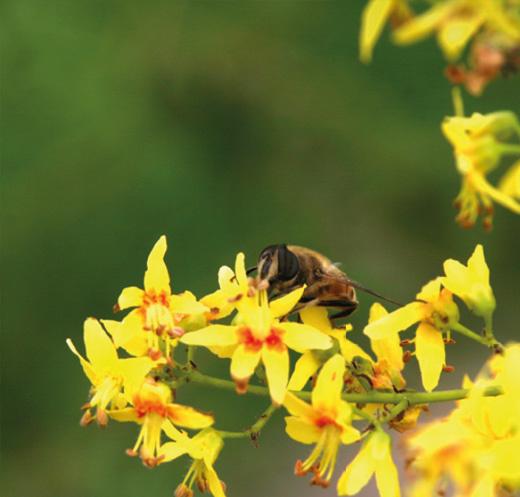 Koelreuteria paniculata, de gele zeepboom zeer geliefd door bijen.