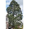 Boomkwekerij M. van den Oever Sequoiadendron giganteum | Mammoetboom