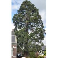 Sequoiadendron giganteum | Mammoetboom