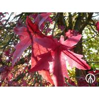 Liquidambar styraciflua 'Worplesdon' | Amberboom - Leivorm