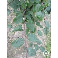 Carpinus betulus | Gewone haagbeuk - Dakvorm
