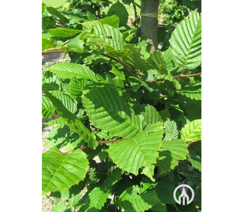 Carpinus betulus | Gewone haagbeuk - Blokvorm