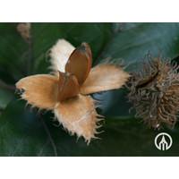Fagus sylvatica | Gewone beuk - Cilindervorm