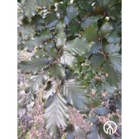 Fagus sylvatica 'Atropunicea' | Bruine beuk - Blokvorm