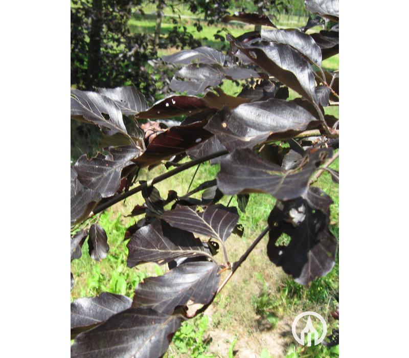 Fagus sylvatica 'Atropunicea' | Bruine beuk - Cilindervorm