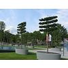 Boomkwekerij M. van den Oever Acer campestre 'Elsrijk' | Veldesdoorn | Spaanse Aak - Leivorm