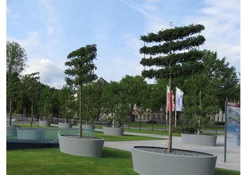 Boomkwekerij M. van den Oever Acer campestre 'Elsrijk' - Leivorm