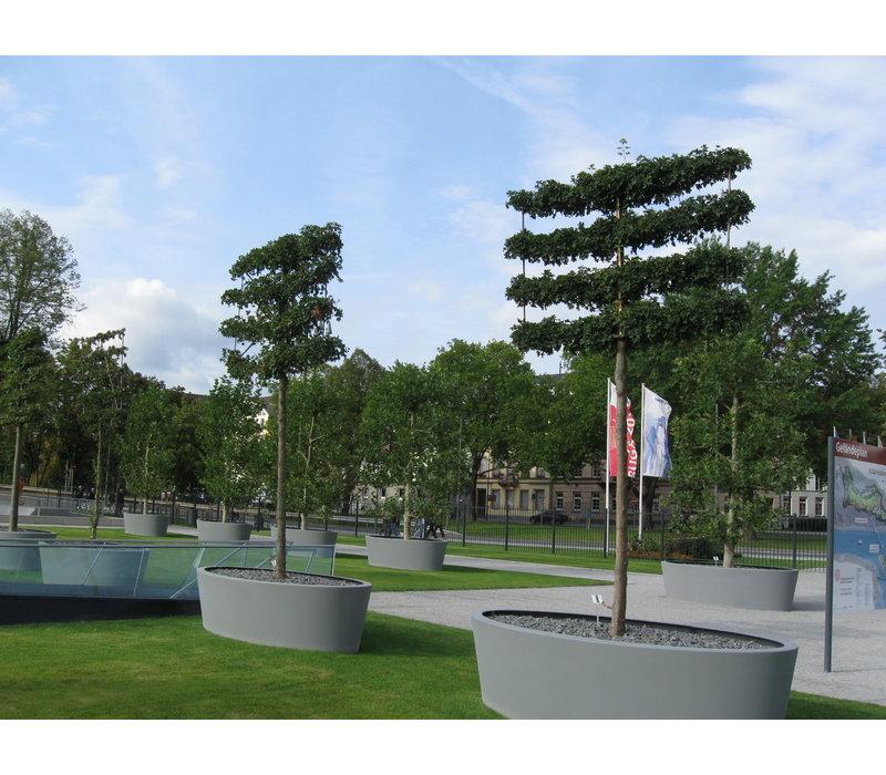 Acer campestre 'Elsrijk' | Veldesdoorn | Spaanse Aak - Leivorm
