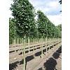 Boomkwekerij M. van den Oever Carpinus betulus | Gewone haagbeuk - Leivorm