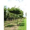 Boomkwekerij M. van den Oever Carpinus betulus | Gewone haagbeuk - Dakvorm