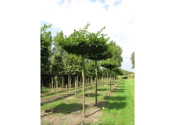 Boomkwekerij M. van den Oever Carpinus betulus  - Dakvorm