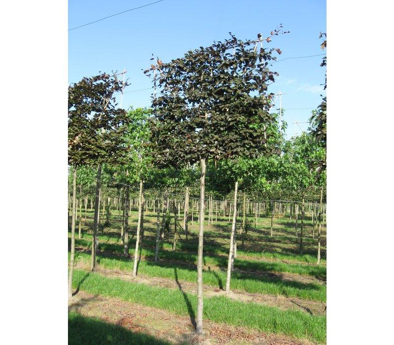 Fagus sylvatica 'Atropunicea' | Bruine beuk - Leivorm