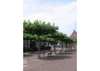 Boomkwekerij M. van den Oever Platanus hispanica  - Dakvorm