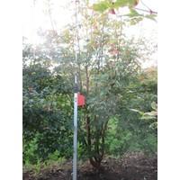 Acer griseum | Papieresdoorn - Meerstam