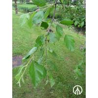 Betula nigra | Rode berk | Zwarte berk - Meerstam