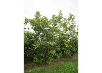 Boomkwekerij M. van den Oever Acer pseudoplatanus - Meerstam